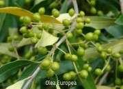Olea Europea