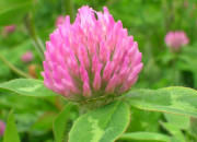 Red Clover for Gonorrhea Treatment