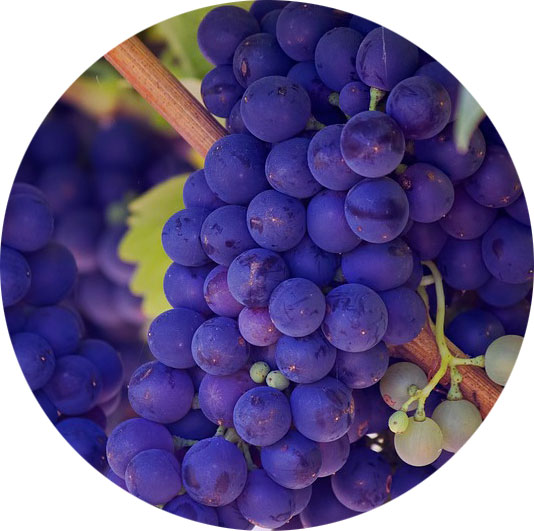 purple-grapes for cancer treatment