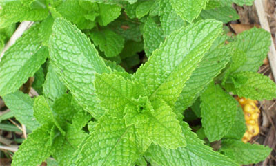 mint-for-irritable-bowel-syndrome-and-headaches