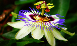 passion-flower-for-insomnia