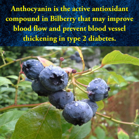 bilberry-prevents-blood-vessel-thickening-in-type-2-diabetes