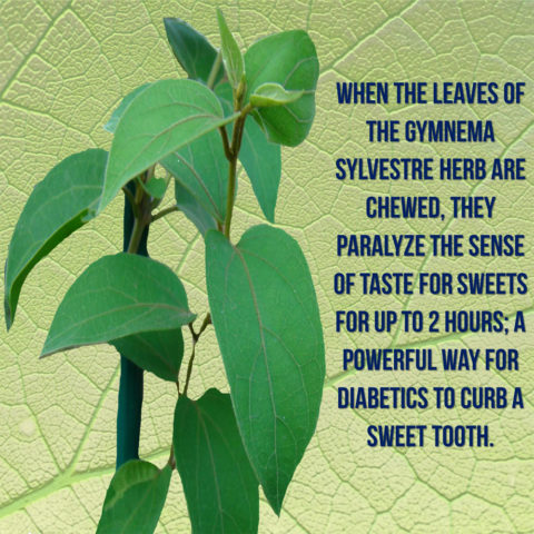 gymnema-leaves-lowers-sense-of-taste,-helps-with-diabetes